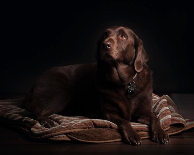 Dierenvoeding voor een Labrador